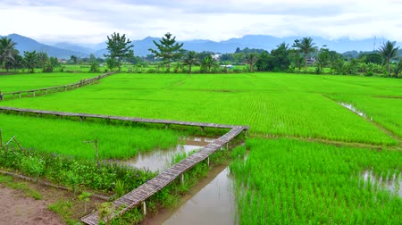 nan : 4K time lapse video of rice field in Pua district, Thailand.