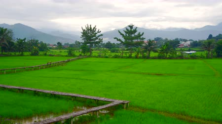 nan : 4K video of rice field in Pua district, Thailand.