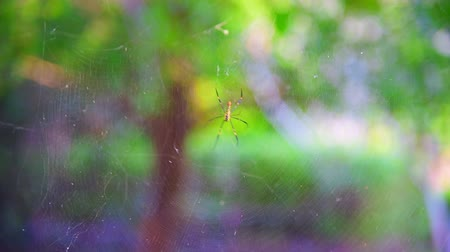 cross spider : 4K video of spider in the nature, Thailand.