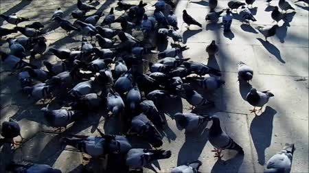 farpa : large number of pigeons in the park