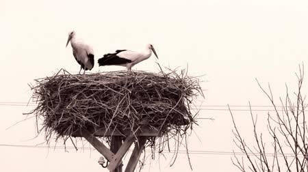 naturale : storks are standing in their nest and preparing to mate Stock Footage