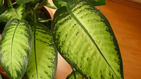 houseplant : Dieffenbachia flower, home ornamental plants, dieffenbachia in pot, Stock Footage