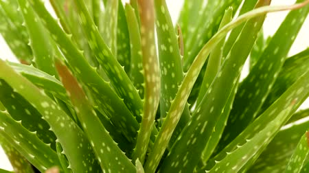 Вера : Cultivate aloe vera on home balcony, balcony ornamental plants,