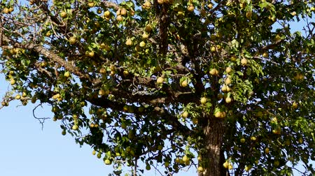 言うこと : natural pears that begin to ripen, pears swinging on the tree, pear tree full of fruit, 動画素材