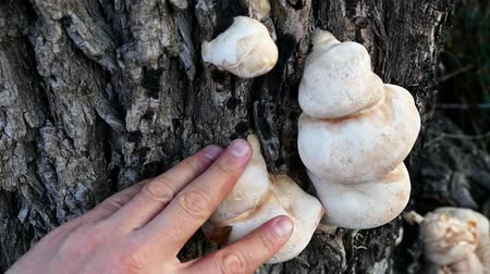 bracket : mushrooms in willow bark