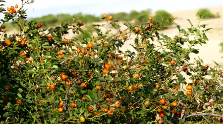 quadris : red rosehip berries, which begin to ripen, natural rosehip tree and ripening rosehip berries,