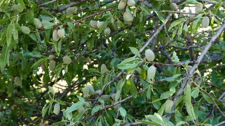 言うこと : almonds in the tree, crusted almonds that begin to dry, 動画素材
