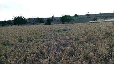 hazelnoten : The chickpea harvest time has arrived, its time to harvest chickpea in the field,