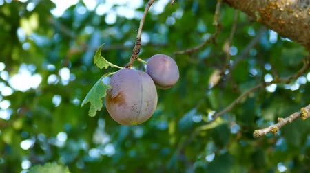 ripen : natural plum starting to ripen, the green plum tree,