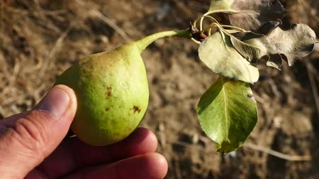 것 : natural pears that begin to ripen, pears swinging on the tree, pear tree full of fruit, 무비클립