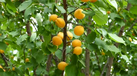 абрикосы : apricot tree, ripening apricots, natural apricots, apricots among leaves,