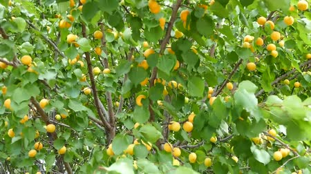 morele : apricot tree, ripening apricots, natural apricots, apricots among leaves,