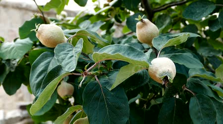 pigwa : raw quince tree, more immature quince, Wideo