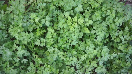 appetito : fresh parsley in the garden, village parsley,
