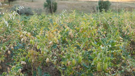 agraria : chickpea plant which starts to ripen in chickpea field, green chickpeas in the field, Filmati Stock