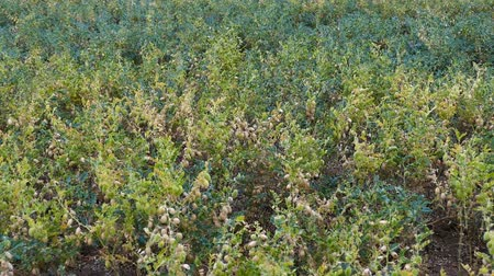 콩과 식물 : chickpea plant which starts to ripen in chickpea field, green chickpeas in the field, 무비클립