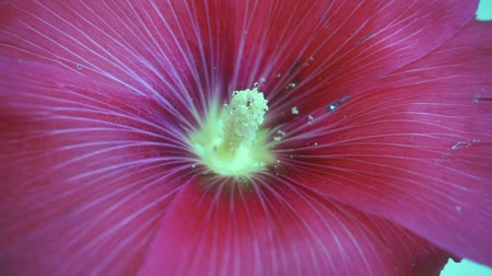 mallow : medical hibiscus flower varieties, Malvaceae,white, pink and red hibiscus flower,