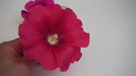 hibiscus : medical hibiscus flower varieties, Malvaceae,white, pink and red hibiscus flower,