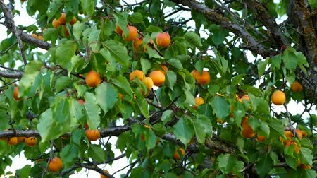 абрикосы : natural organic ripe apricots on the tree,