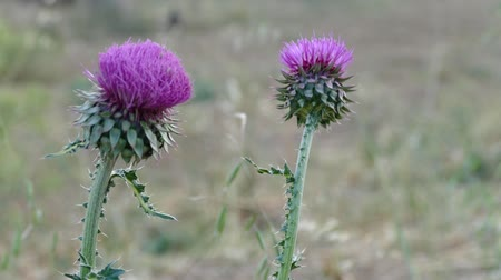 cardo : Silybum Marianum (Milk Thistle) of Camel Thorns