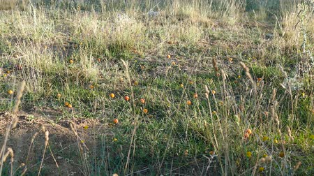 meruňka : apricots falling down from the tree, fruit harvest season,