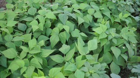 ポッド : fresh green beans planted in the garden, fertile beans american atlantis beans,