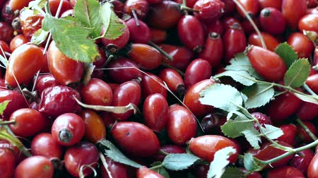 collected : close-up ripe rosehip fruit, ripe marmalade to be made