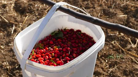 rosehips : A worker collects rosehip, rosehip gather ripe fruit for the construction of rosehip marmalade. Stock Footage