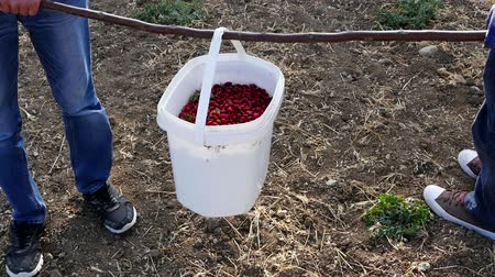 collected : A worker collects rosehip, rosehip gather ripe fruit for the construction of rosehip marmalade, Stock Footage