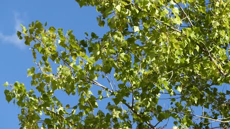 poplar tree leaves began to turn yellow.