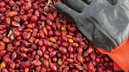 rosehip : rosehip and gloves, to gather rose hips is a very laborious and difficult work.