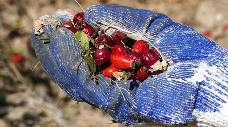 rosehip and gloves, to gather rose hips is a very laborious and difficult work.