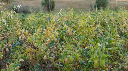 bakliyat : chickpea plant which starts to ripen in chickpea field, green chickpeas in the field.