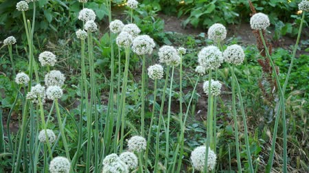 onions reserved for seed, seed onion plants, onion buds left to ripen for seed.