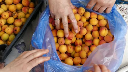 damascos : apricot tree, ripening apricots, natural apricots, apricots among leaves. Stock Footage