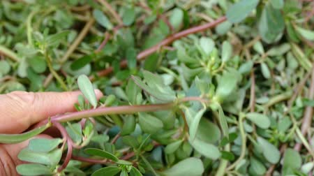 fresh purslane, purslane eaten for breakfast. 무비클립