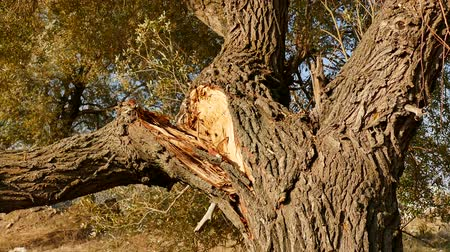 söğüt : willow tree broken after the storm, willow tree branches broken