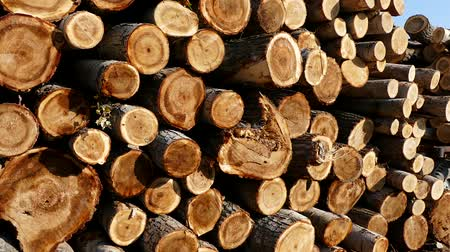 piled up : cut poplar trees, cut poplar trees for timber, lumber trade, poplar timber for construction