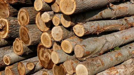 лесное хозяйство : cut poplar trees, cut poplar trees for timber, lumber trade, poplar timber for construction,