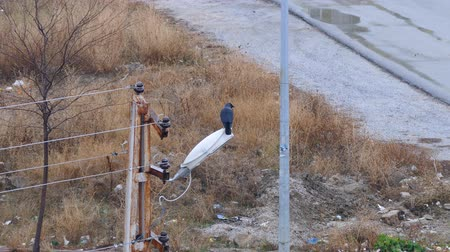 lamppost : crow, black crow, standing on lamppost