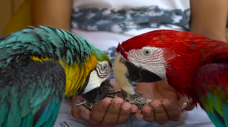 papagaio : parrots eating seeds at hand