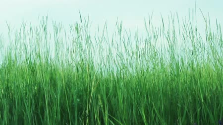 pasture land : Green Grass On The Wind And Blue Sky
