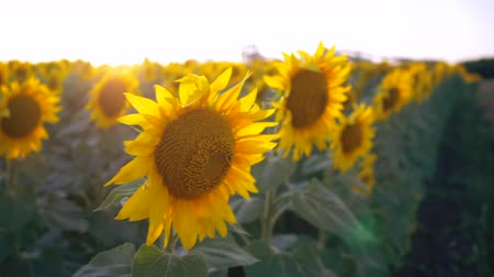 napraforgó : Flowering sunflowers on a background sunset. Slow Motion. Harvest. Agricultural concept