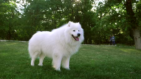 evcil hayvanlar : Funny white Samoyed husky dog in the park. Laika dog breed walking in summer day. Greenery background. SLOW MOTION. Stok Video