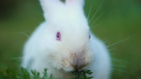 cheirando : Easter adorable white bunny outdoor on green background eating grass and carrot. Slow motion.