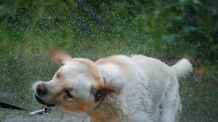 nedves : Closeup of wet dog shaking off water in slow motion. Adult labrador with cane in teeth bathes on the river and enjoys nature. Funny animal.