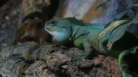 black iguana : Sleeping dragon - Close-up portrait of a resting on branch green colored Beautiful Iguana Lizard Terrarium In Barcelona Aquarium. 4k.