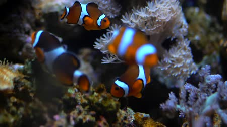 palhaço : Nemo clown fish in the anemone on the colorful healthy coral reef. Anemonefish nemo couple swimming underwater. Scuba diving coral reef scene with nemo and anemone. Vídeos