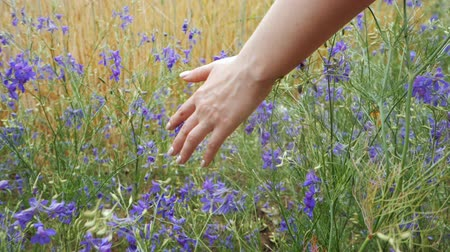 valensole : Female Hand with groomed nails touching purple flower in beautiful field at natural light. Meadow with violet flowers. Close up, slow motion.