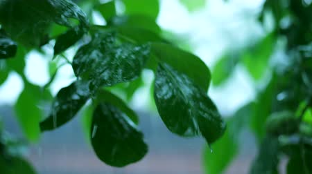vernal : Summer rain in the forest. Drops of water drip from green leaves of nut tree. 4k Stock Footage